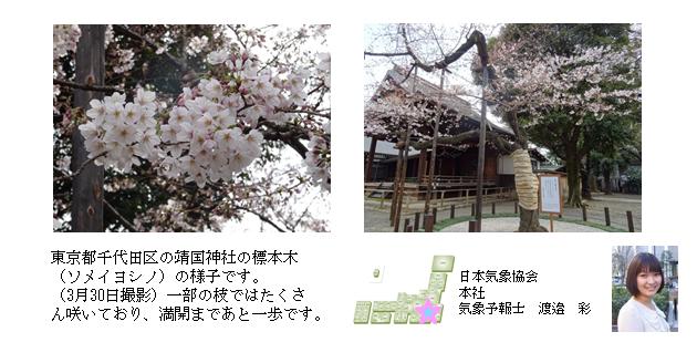 桜開花予想のたより(本社)