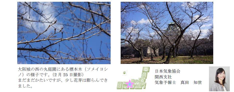 桜開花予想のたより(関西)