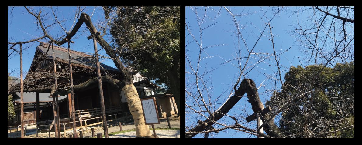 東京都(千代田区)のソメイヨシノ標本木の様子