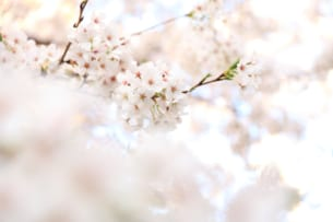 The Earliest Spring Ever: Cherry Blossom Blooming Forecast 2020 (April)