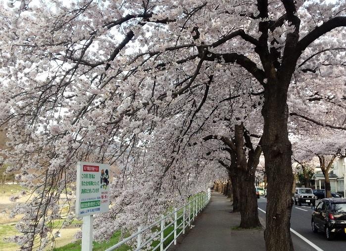 山形市(馬見ヶ崎さくらライン) 桜の様子 (4月20日撮影)