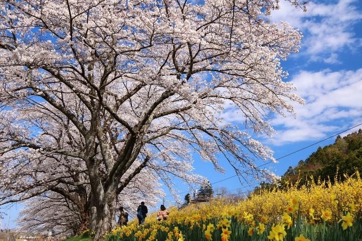 宮城(白石川堤一目千本桜)満開の様子 (4月13日撮影)