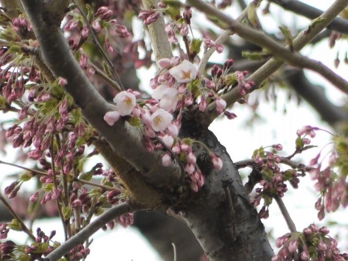 札幌管区気象台 開花の様子 (4月24日撮影)
