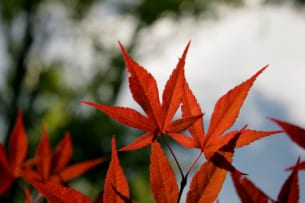 When is the peak of fall foliage colors in Japan? : Autumn Leaves Forecast 2019 (1st forecast)
