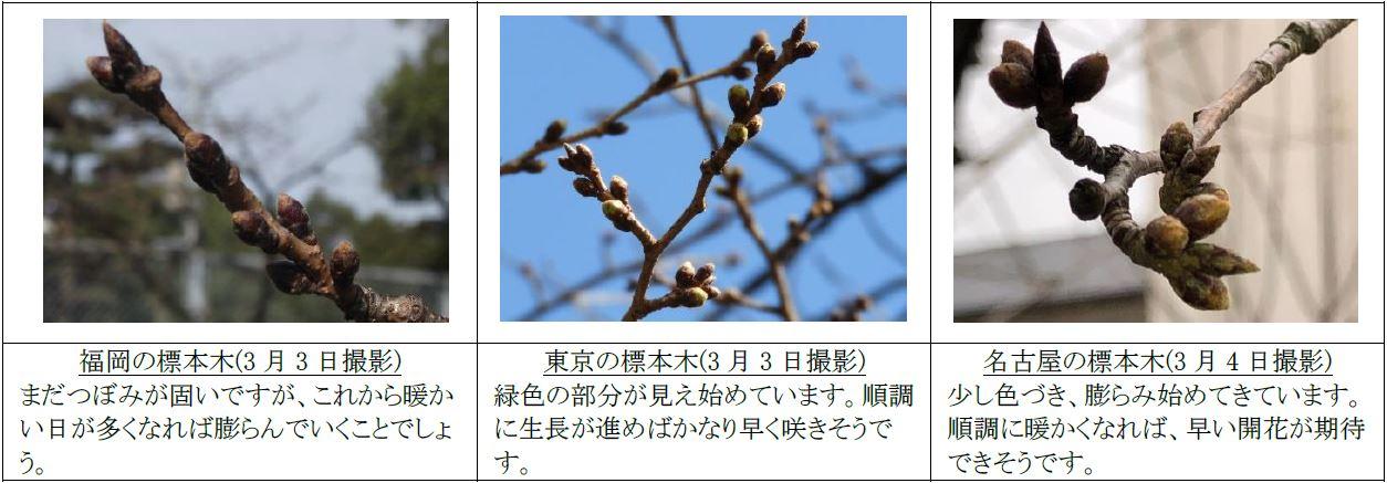 標本木の花芽の様子(2020年3月5日)